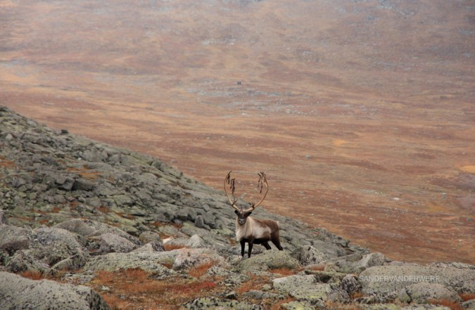 Male Reindeer in the Arctic wilderness of National Park Sarek.