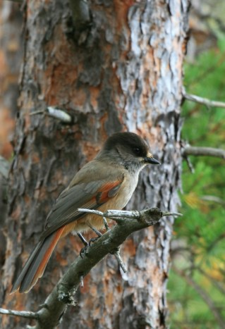 Taiga Jay in a forest in Lapland.
