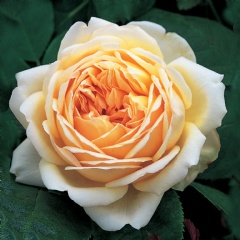 Jude the Obscure [photo: David Austin Roses]