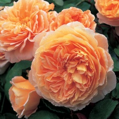 41 crown princess margareta - photo david austin roses 27-5-13
