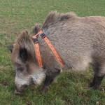 Wildschwein Gescchirr