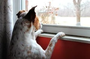 dog anticipate owners return by the window