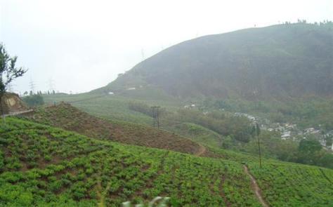 インド北東部西ベンガル州ダージリンの丘陵地に広がる茶畑