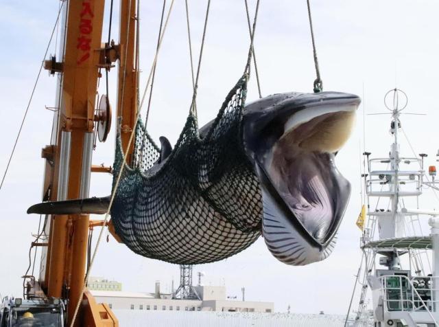 北海道釧路港で水揚げされるミンククジラ。超党派の国会議員が商業捕鯨再開で法改正へ動き出した