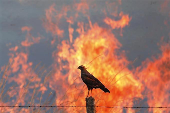 dly1409140002 f1 - 火を使い狩りをする鳥は何?生息場所と方法は