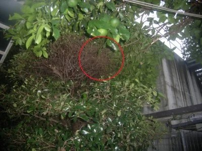 枝に隠れるようにある蜂の巣