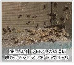 集団狩り シロアリの蟻道に群がってシロアリを襲うクロアリ