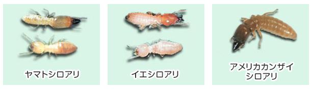 ヤマトシロアリ(左) イエシロアリ(中央) アメリカカンザイシロアリ(右)