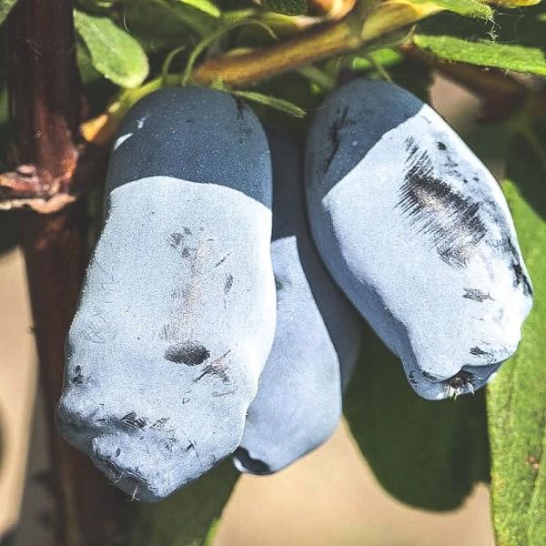 Närbild på mogna Aurora blåbärstry på buske