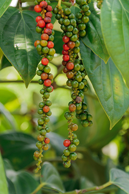 Fresh pepper bush in Borneo,Malaysia.