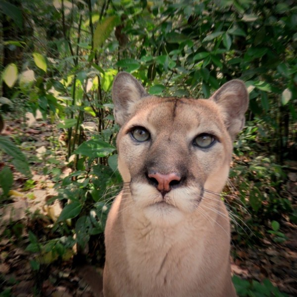 Carlos the puma at the Belize Zoo