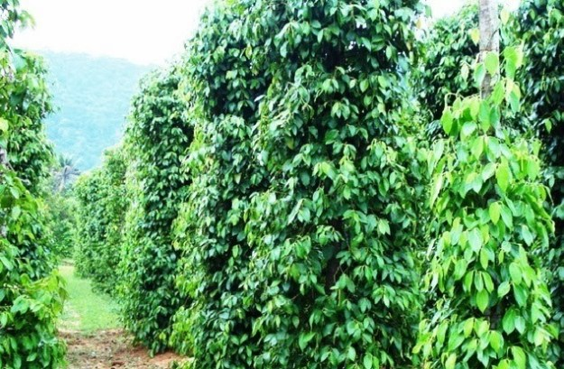 Black-Pepper-Plantation