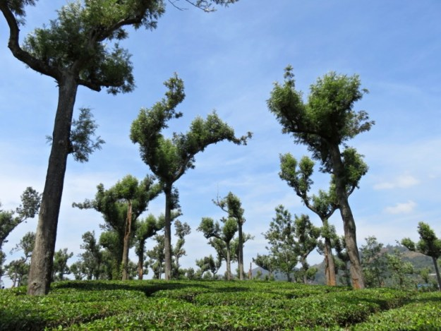 A tea plantation on the way to Munnar, Kerala, India