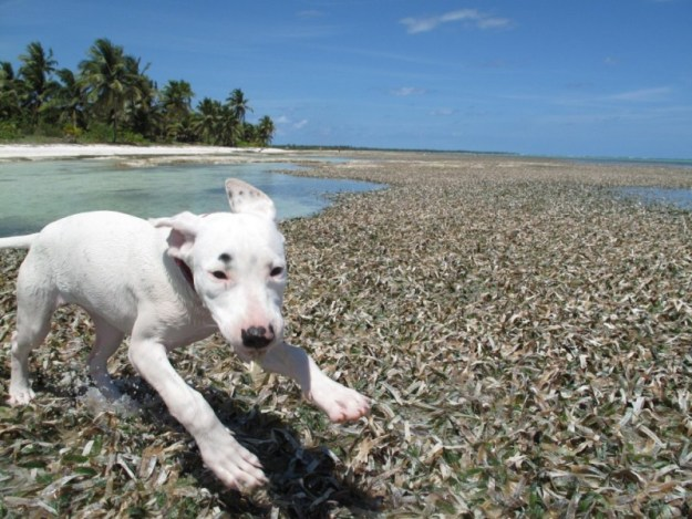 Puppy Astro on North Ambergris Caye. I don't think he has them...but I just like this picture.