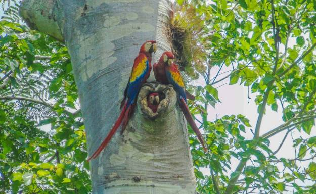 Scarlet macaw Photo by Luis of the S6 Team. Belize