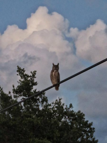 great-horned-owl-ambergris-caye