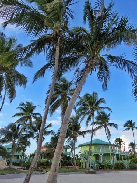 Coconut Trees at Costa Blu, Ambergris Caye, Belize