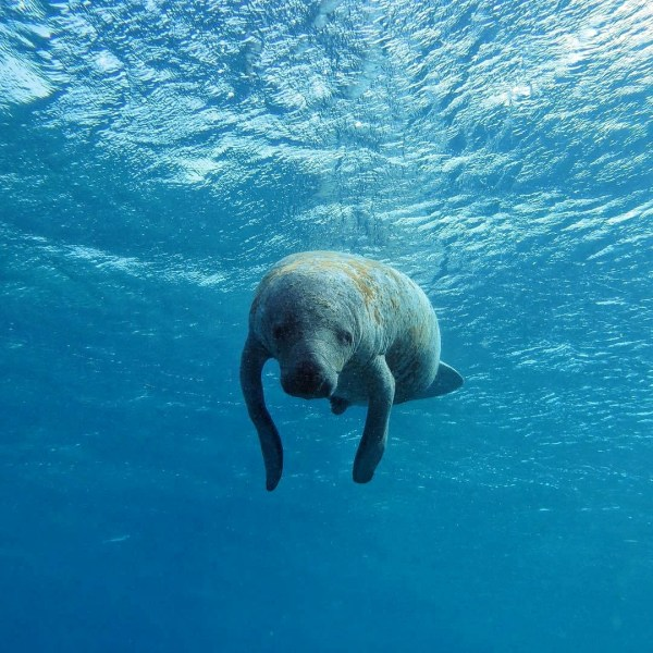 Swimming with a Manatee Belize