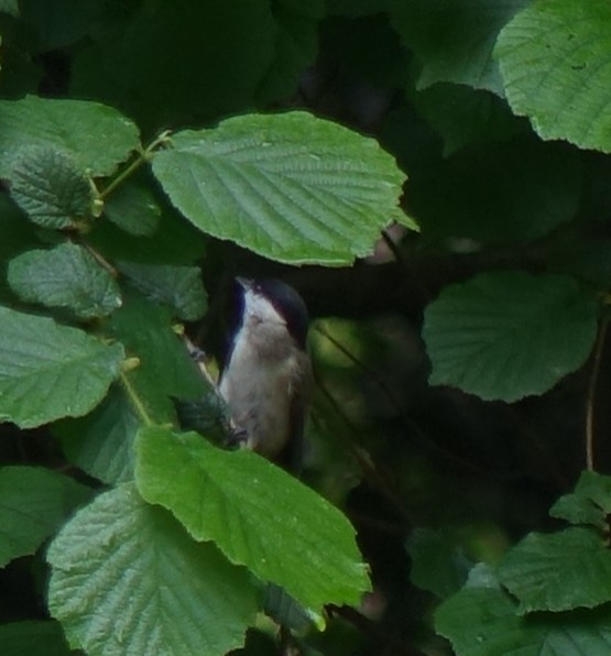 Carbonero palustre -Черноголовая гаичка