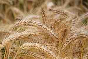 wheat, Ashtanga hridyam, chapter 6, grains with spikes