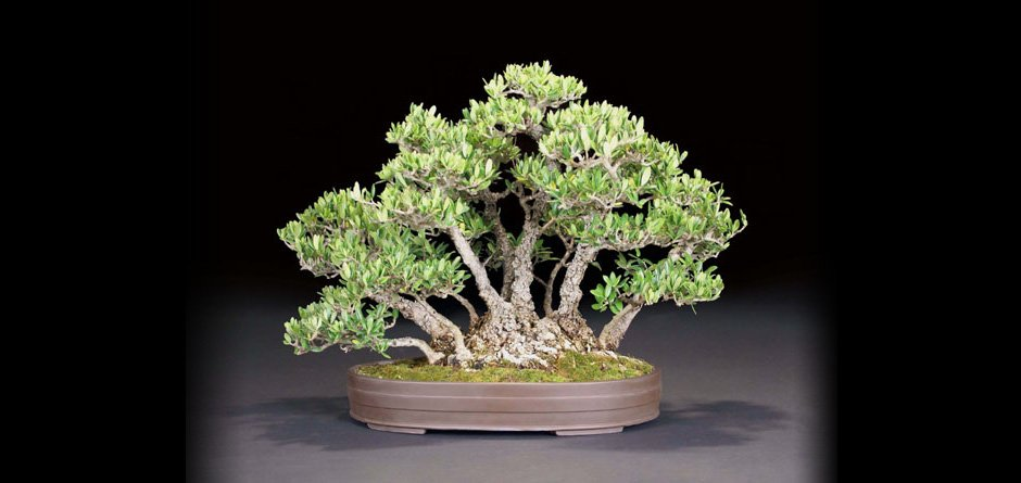 Read more about the article Welcome to the Bonsai Club of Santa Barbara