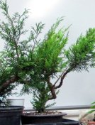 ted-juniper-raw
