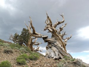 Read more about the article October 2018 – Joe Olson: Bristlecone Pines