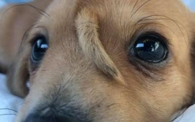 Cachorrinho nasce com rabo 'extra' na testa nos EUA