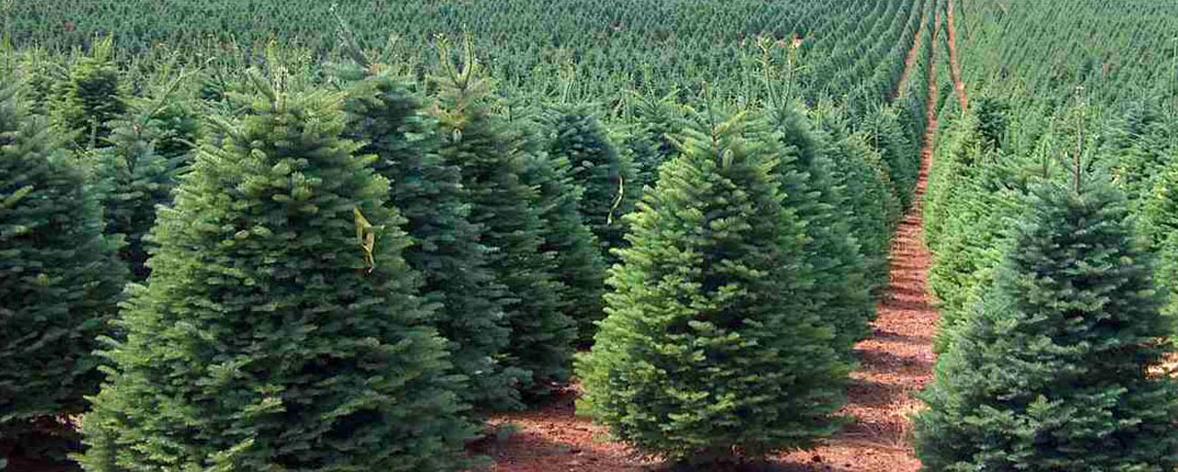 Noble Christmas Tree Field