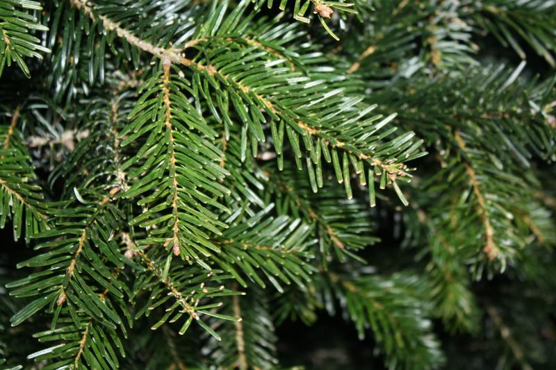 Nordmann Fir Christmas Tree Close up