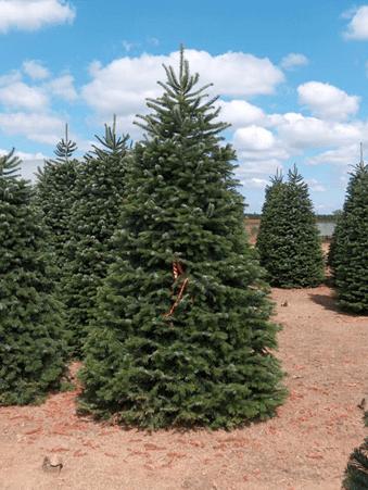Tall Nordmann Fir Christmas Tree In Field