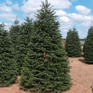 Tall Nordmann Fir Christmas Tree In Field