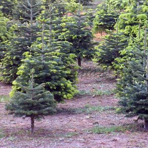 Small Noble Fir Christmas Tree Field