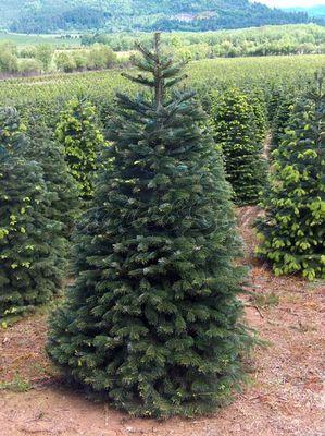 Nordmann Christmas Tree in Field