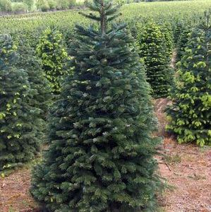 Nordmann Christmas Tree in Field