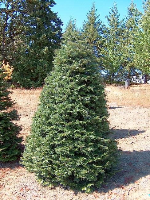Grand Fir Christmas Tree 4'