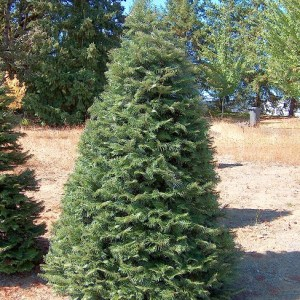 Grand Fir Christmas Tree 4'