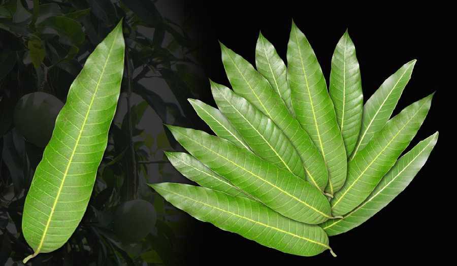 10 avantages inconnus des feuilles de mangue: ne les jetez plus!