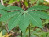Avantages pour la santé de manger des feuilles de manioc