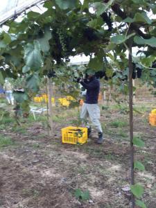 2015.10.3R-1収穫 (3)