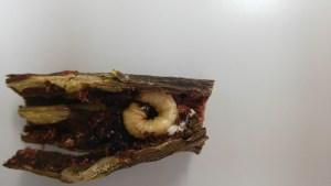 ブドウトラカミキリ