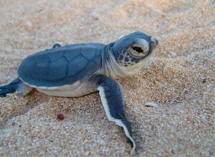 santuario-de-las-tortugas-saona