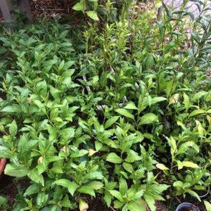 Indigo plants growing 205 (1)