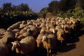 Italia . Pastorizia in Sardegna.De Agostini Picture Library/A. De Gregorio