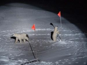 Due orsi polari sui ghiacci dell'artico, vicino alle bandiere di una missione scientifica,
