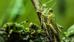 Uno sciame di locuste