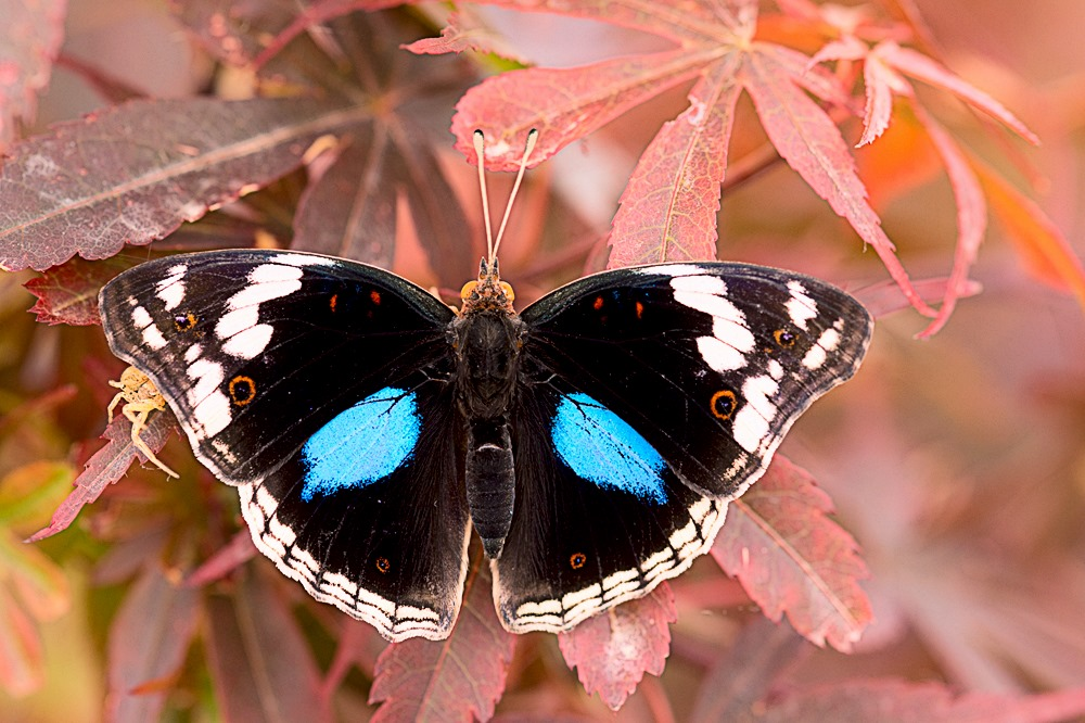 Una farfalla con ali nere striate di azzurro