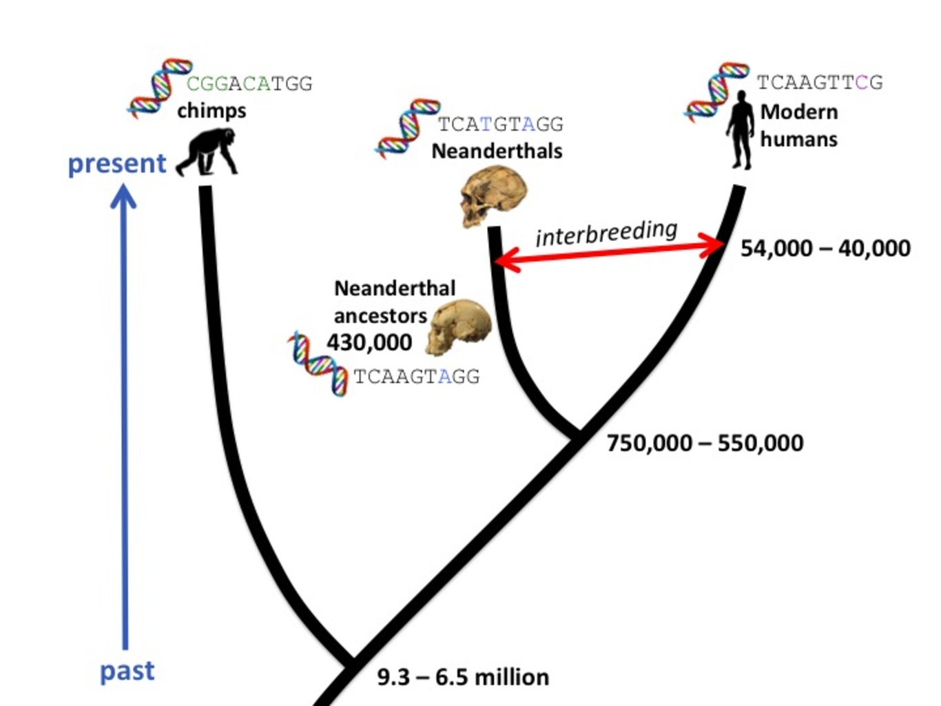How Molecular Clocks Are Refining Human Evolution S