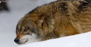 Nationella Rovdjursrådet,