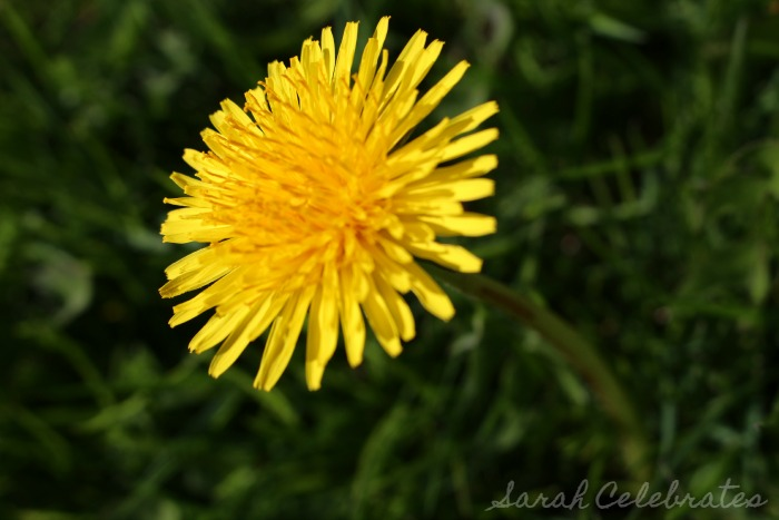 SCsundaysnap - Spring Has Sprung, dandelion